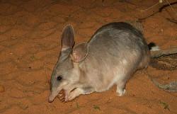 Bilby: Großer Kaninchennasenbeutler