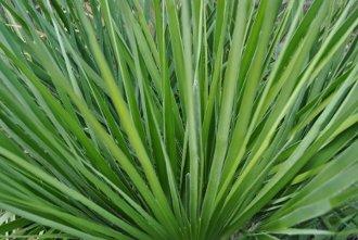 Grüne Palmenwedel