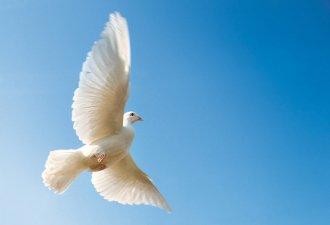 Fliegende, weiße Taube an Pfingsten