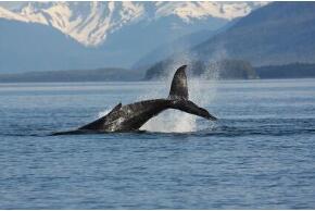 Wal in Grönland